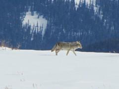 Distant coyote (jimsawthat) Tags: coyote winter snow mountains rural colorado wildlife sanjuanmountains dallasdivide sneffelsrange