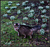Malachy of the Mansions in his Snowdrop Domain (ronramstew) Tags: uk flowers england gardens tom liverpool cat flora snowdrops malachy mansions merseyside princespark croxtethroad mygearandme mygearandmepremium mygearandmebronze canonixus510hs