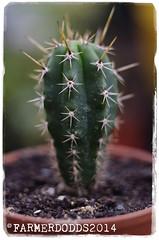 Trichocereus peruvianus KK339 [Huigra Chanchan] (farmer dodds) Tags: cactus cactaceae sanpedro mescaline echinopsis trichocereus echinopsispachanoi trichocereuspachanoi trichocereusperuvianus kk339 huigrachanchankk339 echinopsisperuvianus