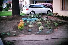 04560029-84 (jjldickinson) Tags: olympusom1 fujicolorsuperiaxtra400 roll490o2 promastermcautozoommacro2870mmf2842 promasterspectrum772mmuv wrigley landscaping xeriscaping garden droughttolerant plant lawntogarden longbeach