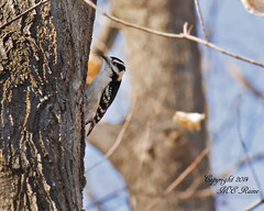 Downy Woodpecker at Duke Farms, Hillsborough, NJDuke Farms Hillsborough NJ Downy Woodpecker 032214 OK FLICKR (takegoro) Tags: nature birds animals woodpecker wildlife sanctuary naturepreserve dukefarms nj woodpecker hillsborough downy