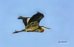Parc des Rapides (MichelGurin) Tags: nature  greatblueheron grandhron sigma70200 d7100 lr5 michelgurin rapidedelachinelasalle nikcollection