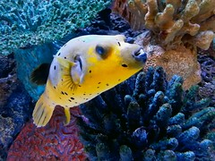 Dog-faced puffer at Annapolis Mall (SchuminWeb) Tags: county dog fish black mall shopping anne aquarium march md tank ben web malls maryland center blow faced tropical spotted annapolis puffer westfield fishes arundel blowfish tanks aquariums aquaria blackspotted 2014 puffers annearundel nigropunctatus arothron dogfaced shoppingtown arothronnigropunctatus schumin schuminweb