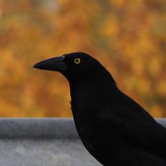 strepera graculina (Seakayem) Tags: orange black bird square currawong f28 squarecrop streperagraculina bokehmonster sonya55sltpentacon135