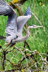 Lift Off! (Gary Grossman) Tags: wild bird heron natural wildlife flight liftoff wetlands habitat takeoff takingflight greatblueheron ridgefield ridgefieldnationalwildliferefuge garygrossman garygrossmanphotography