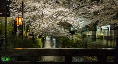 Japan Kyoto (tommyg_83) Tags: japan spring kyoto cherryblossom cherryblossoms japankyoto kiyamachi kiyamachidori springjapan japanesetrees kiyamachistreet springtimejapan