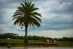 Still standing.... (ChanraKana) Tags: sky tree nature nikon cattle riverside bangladesh d3000