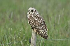 Brandugla-Short eared Owl-Asoi flammeus (sigmundurasgeirsson) Tags: shortearedowl asioflammeus brandugla