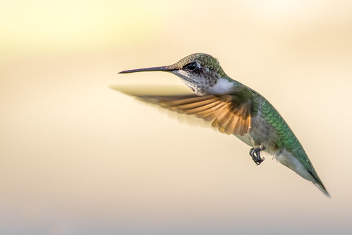 Glowing Hummingbird