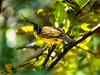 Black-Crested Bulbul ([ Duke ]) Tags: blackcrested bulbul pycnonotus flaviventris khao kheow open zoo thailand olympus omdem1 mark ii mzuiko digital ed 40150mm f28 pro tc mc14