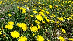 Pisenlis (srouve78) Tags: pisenlis flowers yellow