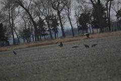 Sandhill Cranes on day 3 Neb in Mar (36) (pamswatercolors) Tags: calls pamelagunn kearney nebraska sandhillcranes march2017 birds photography canon5dmarkiii nature