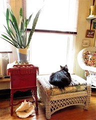 Noir is transfixed as she watches birds at the feeder; Ellicott City, Maryland. (A CASUAL PHOTGRAPHER) Tags: cats animals felines ferals feralcats ellicottcity howardcounty maryland bridgecameras canonpowershotsx50hs dwellings livingrooms furnishings seashells houseplants snakeplants windows hassocks blackcats