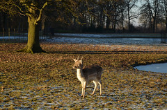 (-Kj.) Tags: kasteeldehaar dehaarcastle park winter afternoon cold walk lowsun deer