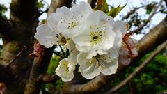 DSC01408 (omirou56) Tags: 169ratio sonydscwx500 greece aigio flowers white αιγιο ελλαδα λουλουδια outdoor nature natur natura tree φυση δεντρο