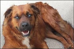 """ Keep those Eyes on the Prize ! "" (KLF & JRN) Tags: kjphotography goldenretriever siberianhusky smileofadog pointynoseddogs blueeyeddog blueeyes brantford husky fieldretriever pet dog dognose animal outdoor"