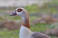 Ouette d'Égypte (rondoudou87) Tags: pentax k1 nature natur oiseau bokeh bird smcpda300mmf40edifsdm parc zoo reynou profil profile