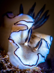 2016 Marshmallow Nudi (davidmcbridephotography) Tags: red photograph photography david mcbride media news image isles scillyunited kingdom schiller holiday travel suites adventure spectacular awesome wild images wildlife marine life sciba padi dive diver diving scenic vivid colorful underwater aqualung marshmallow micro macro nikon 105mm rhinophores critter critters