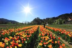 Lenz (ploh1) Tags: tulpen blumen tulpenfeld frühling sonne gegenlicht freiburg frau mensch person bunt farbenfroh fisheye landschaft natur