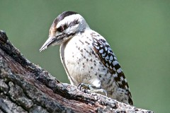 ladderbackedwoodpecker