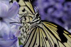 Papillons en Liberté 2017 - Photo 19 (Le Chibouki frustré) Tags: nikon nikond700 d700 700 fx fullframe montréal montreal homa hochelagamaisonneuve macro macrophotographie botanicalgarden jardinbotanique jardinbotaniquedemontréal montrealbotanicalgarden butterfly insect insects bokeh dof pdc papillonsenliberté2017 butterfliesgofree2017 closeuplens closeupfilter