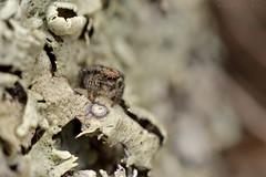 Unidentified Salticidae dans son Monde (Villelongue) (G. Pottier) Tags: jumpingspider salticidae araignée sauteuse saltique araignéesauteuse