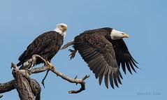 ND5_6488 One Leaving (Wayne Duke 76) Tags: baldeagles eagle takingflight feathers raptors matingpair oldsnag