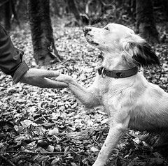 A Helping Hand (Missy Jussy) Tags: rupert rupertbear hands love affection woodland englishspringer springerspaniel spaniel puppy dog pet animal canon canon5dmarkll canon50mm 50mm mono monochrome bw blackwhite blackandwhite littledoglaughednoiret