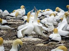 Australasian Gannet Colony (Lanceflot) Tags: australasian gannet seabird bird couple colony newzealand cape kidnappers takapu hastings north island breeding cheeks
