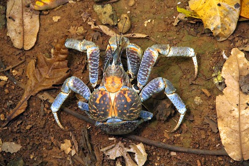"Robber crab • <a style=""font-size:0.8em;"" href=""http://www.flickr.com/photos/137365235@N06/33351487422/"" target=""_blank""></noscript>View on Flickr</a>"