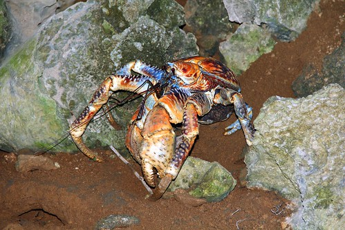 "Robber crab • <a style=""font-size:0.8em;"" href=""http://www.flickr.com/photos/137365235@N06/33351488222/"" target=""_blank""></noscript>View on Flickr</a>"