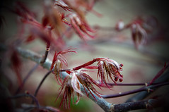 Ready for Spring (klaxtonphoto) Tags: outdoors plant naturalbeauty tree season love maple acer japanesemaple red spring delicate nature natural