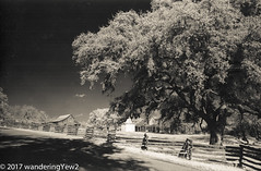 LBJ Historical Park #2 (infrared) (wanderingYew2 (thanks for 3M+ views!)) Tags: 120 hillcountry lbjnationalhistoricalpark lbjnationalhistoricalparknationalhistoricalpark lbjstatehistoricalpark r72filter texas texashillcountry farm fence film filmscan infrared infraredfilm mediumformat fuji6x9 fujigw690 6x9