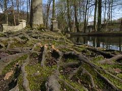 Strong roots, Munich (tenokakos) Tags: trees roots munich münchen nymphenburg
