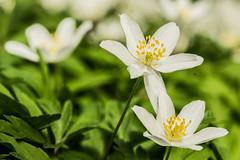 Buschwindröschen (günter mengedoth) Tags: anemonenemorosa buschwindröschen wildblume frühling frühlingsblüher