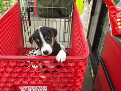 Puppy in a Cart (marylea) Tags: iphone mar5 2017 puppy parsonrussellterrier parsonrussell tractorandsupply tractorandsupplyco red grocerycart cart dooley dog jackrussellterrier jackrussell terrier