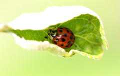 Hide in your shell (Lorraine1234) Tags: ladybug nature macro