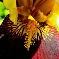 Iris intime (letexierpatrick) Tags: fleurs iris couleurs printemps nature jardin extérieur flowers flower colors nikon