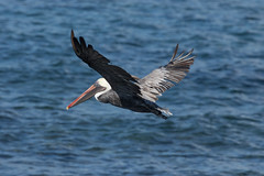 Adult Brown Pelican at Chinese Hat S24A5843 (grebberg) Tags: bird chinesehat galapagos ecuador january 2017 brownpelican pelecanusoccidentalis pelican pelecanus adult pelecanusoccidentalisurinator