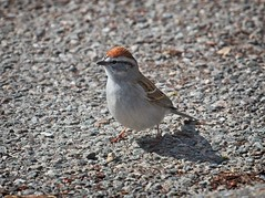 Chipping Sparrow (Goggla) Tags: nyc new york east village tompkins square park urban wildlife bird chipping sparrow chippingsparrow goglog
