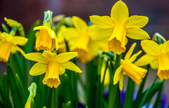 Spring has Sprung (Tony Shertila) Tags: 20170311132920 spekegarstonward england unitedkingdom europe britain merseyside liverpool flowers daffodils gbr
