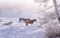 Horses stay and relax in the snowy woods in winter (♥Oxygen♥) Tags: winter snow horse white animal field active outside freedom beautiful nature outdoor forest mist meadow mammal wood croup standing pasture color cold farm ranch frost trees hills pride ice countryside rural glazed proud altay fog relax village altai russia snowy frozen landscape calm wild travel freeze season environment calendar fairytale
