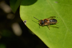 Male miner bee #2 (Lord V) Tags: macro bug insect bee minerbee