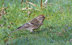 Redpoll (KHR Images) Tags: redpoll finch finches fringillidae wild bird sandy rspb bedfordshire wildlife nature nikon d500 kevinrobson khrimages