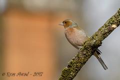 tD40_9577 (Eyas Awad) Tags: eyasawad nikond4 sigma500f45 bird birds birdwatching wildlife nature fringuello fringillacoelebs