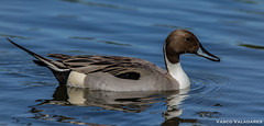 Arrabio, Northern pintail (Anas acuta) (Vasco VALADARES) Tags: arrabio anasacuta northernpintail birds bird wing wings feather feathers nature wildlife naturephotography aves ave canon