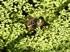 Frog in Pond Weed (Scadge) Tags: frog spawn frogsspawn pond weed pondweed sun amphibian