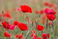 frugando tra i papaveri (mat56.) Tags: fiori flowers papaveri poppies rosso red prato lawn natura nature primavera spring sancolombanoallambro campagna milano pianura padana lombardia antonio romei mat56