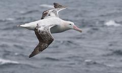 Wandering Albatross (Med Gull) Tags: antarctic quarkexpeditions