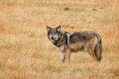 Encounter of the First Kind (craig goettsch) Tags: grandtetons2016 graywolf canine wildlife nature 900mm nikon d500 wyoming ngc npc